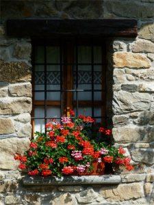 Geranio florece en verano